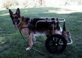 Degenerative Myelopathy of the German Shepherd Dog