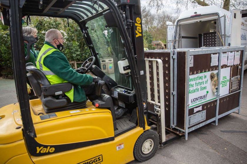 Lionesses transported for ZSL London Zoo