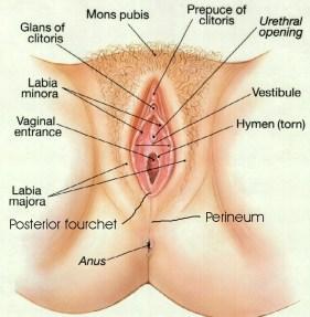 vagina diagram