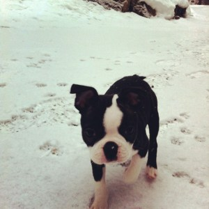 kemper_Boston Terrier in snow