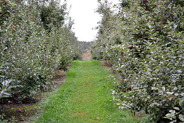 Apple Picking_Cider Hill Farm_11