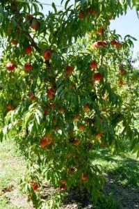 Apple Picking_Tougas Family Farm-25