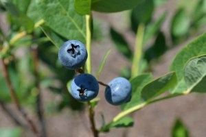 Blueberry Picking 2016_Blue Gold Growers-08