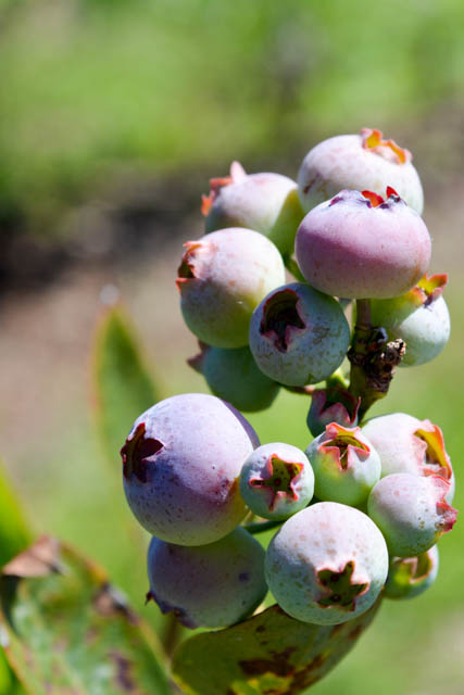 Blueberry Picking 2016_Blue Gold Growers-10