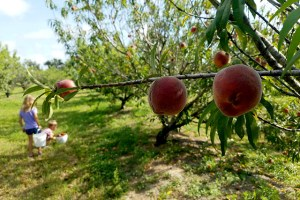 peaches hanging from a peach tree branch at a farm