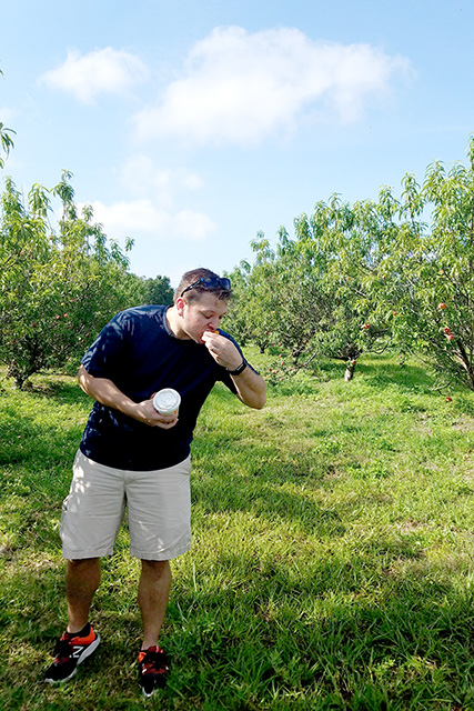 man eats a peach in between two rows of peaches at farm