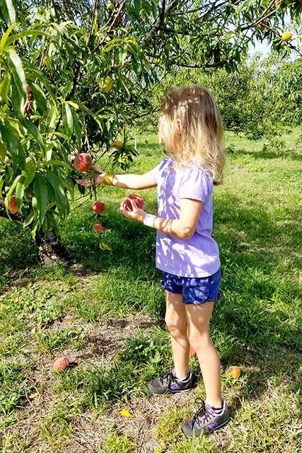 Girl picks peaches from peach tree
