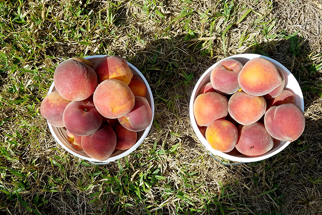 Sun shines on two full buckets of peaches