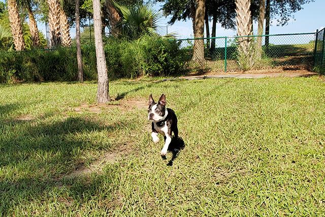 Boston Terrier running in dog park