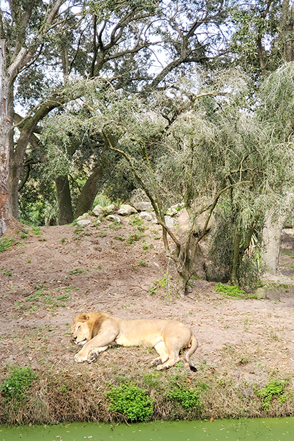 lion laying on a grassy bank at Jacksonville Zoo