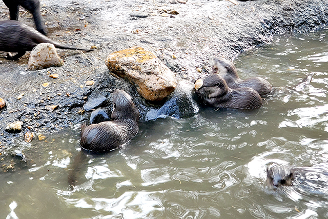 small Asian otters eating mussels and clams at a zoo