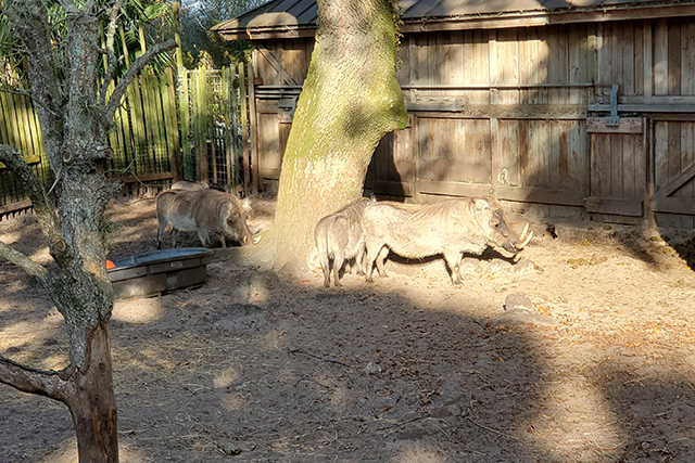 Warthogs in zoo exhibit