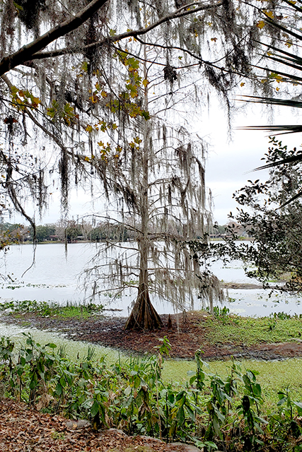 Spanish moss covered bare tree along waters edge