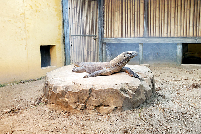 Komodo Dragon at Zoo