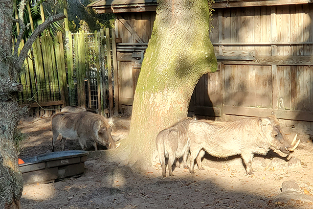 Warthog at zoo