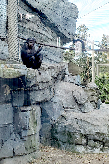 Bonobo in exhibit at Jacksonville Zoo