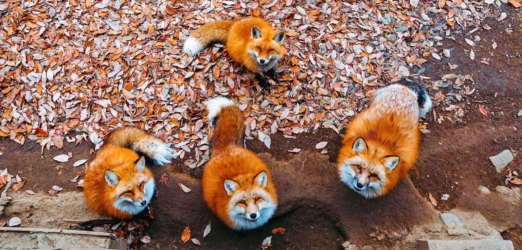 Bildergebnis für fox village japan
