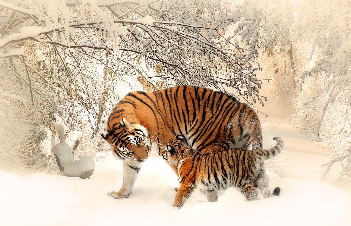 International-tiger-day-Iaminlovewithnature