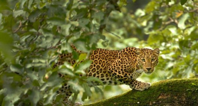 leoprad-in-tadoba national park