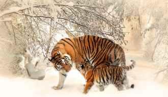 International-tiger-day-Iaminlovewithnature