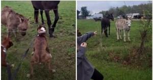 Tak Jaga Hati 'Member', Keldai Ini Gelakkan Anjing Kena Renjatan