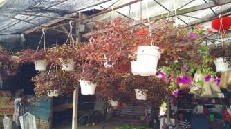 Euphorbia cotinifolia?