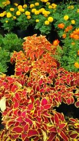 Love the red to orange and yellow trim Coleus