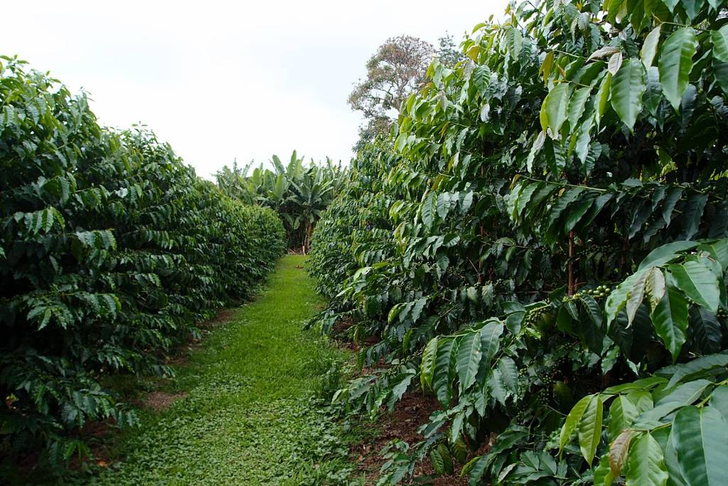 Visiting a coffee plantation is one of 7 Things You Must Do On The Big Island, Hawaii