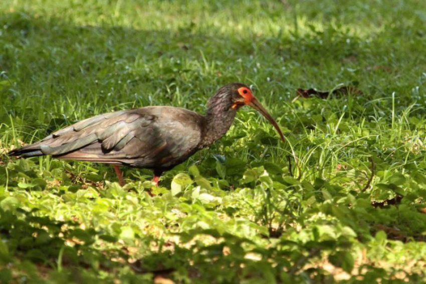 Hato Pinero 530 Ceribis oxycerca, Tarotaro m. wieser