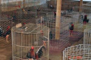 Gallos utilizados en la gallera. Patrimonio cultural de Venezuela.
