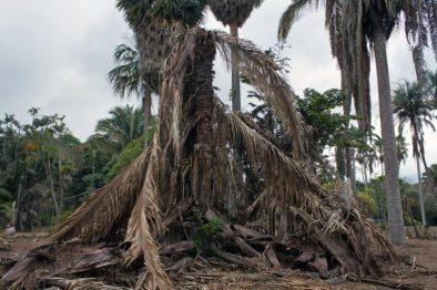 La palma es una de las especies más sedientas y vulnerables del Jardín Botánico - UCV, Foto Mairet Chourio / portal Efecto Cocuyo, 23 de abril de 2019.