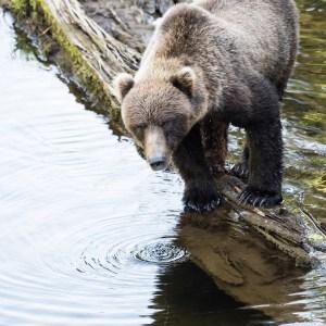 Bear, Coastal Brown Bear, Print, Sale, Hoonah