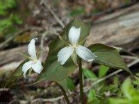 White Trilium (species unknown)