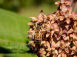 Honey Bee on a milkweed - Butler, Minnesota