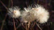 Cottongrass