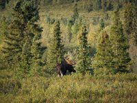 Bull Moose - Denali National Park
