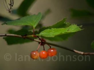 High bush cranberry - Ester Lake