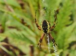 Orb-weaving spider - Gilsland farm, Portland, Maine