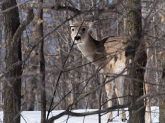 White-tailed deer - Maplewood State Park, Minnesota