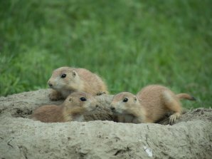 Prairie Dogs - Theodore Roosevelt National Park
