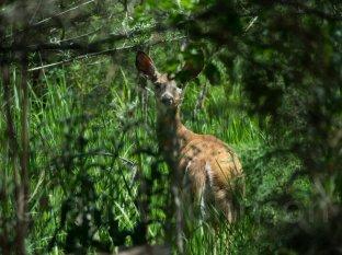 Mule Deer - Montana