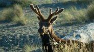 Theodore-roosevelt Elk - Redwoods National Park