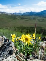 Alpine Arnica on the summit of a large hill in Denali National Park, Alaska.