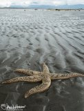 A large, stranded starfish waits for the turn of the water in Homer, Alaska.