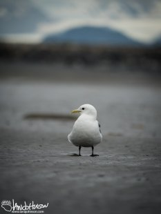A Black-legged Kittiwake eyes me up along the beaches of Homer, Alaska.