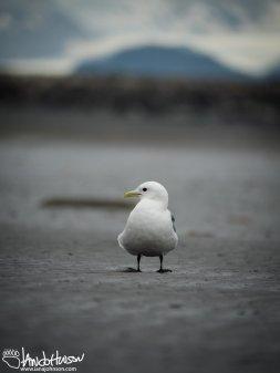 A Black-legged Kittiwake eyes me up along the beaches of Homer, Alaska.