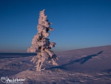 A lone spruce stands testament to the difficulties of surviving in the winter at and elevation on the Pinnell Mountain Trail, Twelvemile Summit, Alaska.
