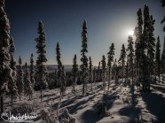 A full moon illumiates the shadows of tall black spruces at Black Spruce Dog Sledding, Fairbanks, Alaska.