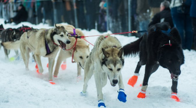 1 Down 1000 to Go : The Yukon Quest Dog Sled Race 2014