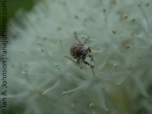 Uknown beetle on bear grass. Look at that pollen!
